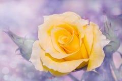 Imagem sonhadora de uma rosa amarela fotografia de stock royalty free