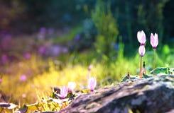 a imagem sonhadora do cíclame floresce a florescência na floresta Imagens de Stock