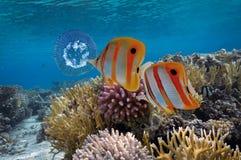 Imagem subaquática das medusa Foto de Stock