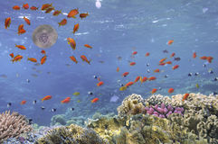Imagem subaquática das medusa, Mar Vermelho Fotografia de Stock Royalty Free