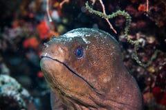 Imagem subaquática de peixes da enguia de Moray imagem de stock royalty free