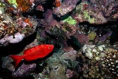 Imagem subaquática de peixes tropicais Fotografia de Stock