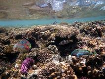 Imagem subaquática do recife de corais e de peixes tropicais Imagem de Stock Royalty Free