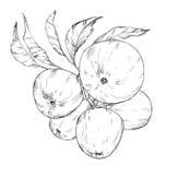 Imagem tirada mão das maçãs do estilo do esboço ilustração stock