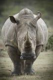 Imagem tonificada de um rinoceronte branco fotos de stock royalty free