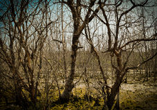 Imagen abstracta del fondo de los árboles del mangle Fotografía de archivo