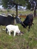 Imagen agradable de las vacas que alimentan en granja fotografía de archivo libre de regalías