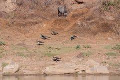Imagen agradable de pavos reales indios en Panna National Park Foto de archivo