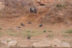 Imagen agradable de pavos reales indios en Panna National Park Imagenes de archivo