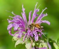 Imagen aislada de una abeja que se sienta en las flores Fotos de archivo