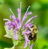 Imagen aislada de una abeja que se sienta en las flores Imagen de archivo libre de regalías