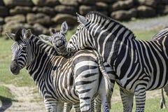 Imagen animal de la diversión de una familia de cebras fotografía de archivo