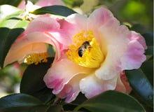 Imagen apilada foco de la camelia rosada y blanca con Honey Bee Foto de archivo