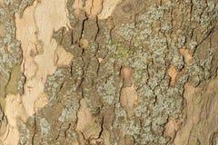 Imagen ascendente cercana de la corteza de árbol abigarrada del sicómoro para el fondo imágenes de archivo libres de regalías