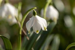 Imagen ascendente cercana del copo de nieve blanco y amarillo fresco de la primavera imagenes de archivo