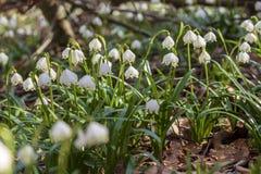Imagen ascendente cercana del copo de nieve blanco y amarillo fresco de la primavera imagen de archivo libre de regalías