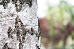 Imagen ascendente del cierre de la corteza de abedul Corteza de abedul en el ambiente natural Corteza de abedul en el parque, amb Foto de archivo libre de regalías