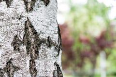 Imagen ascendente del cierre de la corteza de abedul Corteza de abedul en el ambiente natural Corteza de abedul en el parque, amb Imagenes de archivo