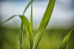 Imagen ascendente del cierre detallado de la hoja de la hierba verde con el fondo borroso Fotos de archivo libres de regalías
