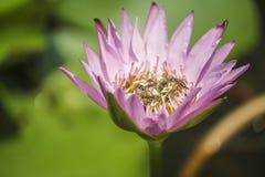 Imagen ascendente rosada de la flor de loto y del cierre del interior de muchas abejas Imagen de archivo