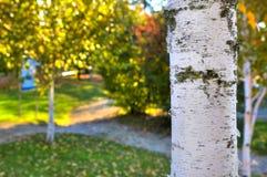 Imagen blanca del primer del tronco del abedul. Foto de archivo