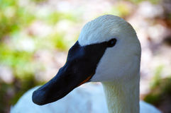 Imagen blanca principal del cisne imagen de archivo libre de regalías