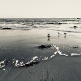 Imagen blanco y negro de pájaros en la playa fotografía de archivo