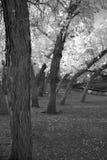 Imagen blanco y negro de árboles en la estación del otoño Imagen de archivo libre de regalías