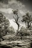 Imagen blanco y negro de un árbol en Bryce Canyon National Park foto de archivo