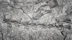 Imagen blanco y negro del esqueleto del dinosaurio Fotos de archivo