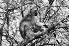 Imagen blanco y negro del mono de Vervet en un árbol Foto de archivo