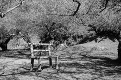 Imagen blanco y negro del túnel del árbol y de la sombra del árbol en parque foto de archivo