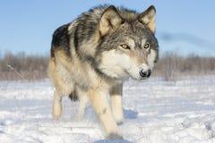 Imagen cercana estupenda del lobo de madera en nieve fotografía de archivo