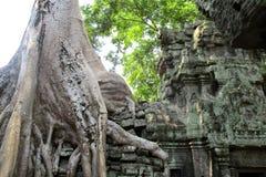 Imagen cl?sica del ?rbol de Camboya Angkor Wat Ta Prom imagen de archivo