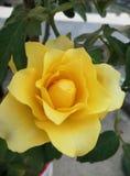 Imagen color de rosa amarilla fotografía de archivo