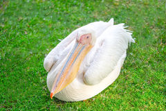 Imagen colorida amistosa del pelícano Imagen de archivo libre de regalías