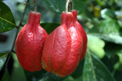 Imagen común de la plantación de Croydon, Jamaica Foto de archivo libre de regalías