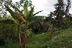 Imagen común de la plantación de Croydon, Jamaica Fotografía de archivo