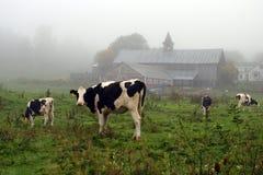 Imagen común de vacas en una granja fotos de archivo libres de regalías