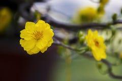 Imagen común libre de alta calidad de los derechos de la flor del Ochna El Ochna es símbolo del Año Nuevo lunar tradicional vietn Fotografía de archivo libre de regalías
