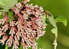 Imagen con una abeja que vuela cerca de las flores Fotos de archivo