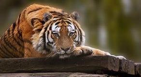 Imagen conmovedora hermosa de la fijación del tigre Fotografía de archivo