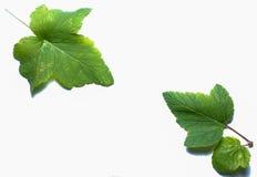 Imagen de bayas y de hojas en un fondo blanco Imágenes de archivo libres de regalías