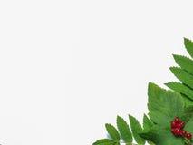 Imagen de bayas y de hojas en un fondo blanco Fotos de archivo