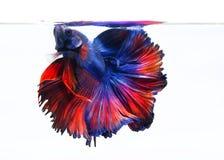 Imagen de Betta Fish On White Background, momento móvil de la acción de Imágenes de archivo libres de regalías
