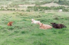 Imagen de cuatro terneras que mienten en la hierba imagen de archivo