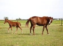 Imagen de dos caballos yegua y potro que juegan en el prado Caballos del pura sangre de la castaña Fotografía de archivo