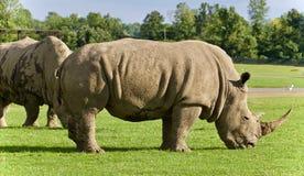 Imagen de dos rinocerontes que comen la hierba Fotografía de archivo libre de regalías