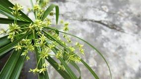 Imagen de fondo de la planta de la flor de Octameria imagen de archivo