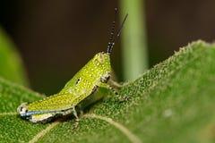 Imagen de grasshopperAcrididae verdes en las hojas verdes insecto Imagen de archivo libre de regalías